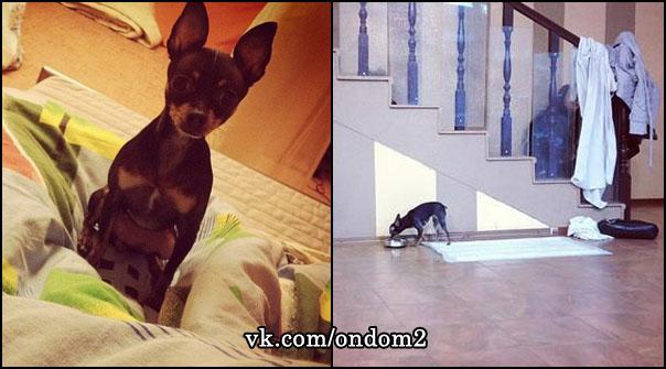Собака Дина - русский той-терьер